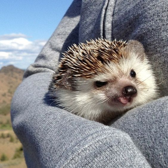 little hedgehog: