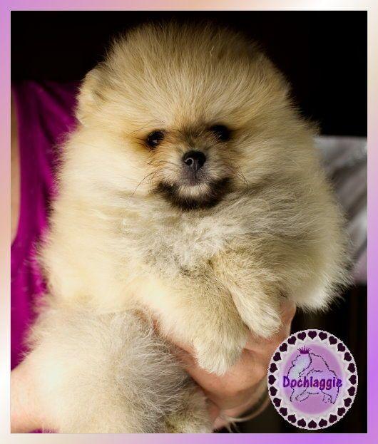 Dochlaggie Pomeranian Puppy Pomeranian Pomeranianpuppy Naturaleza