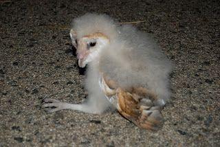 baby #owl- #poem morning wish @Caroline Gerardo
