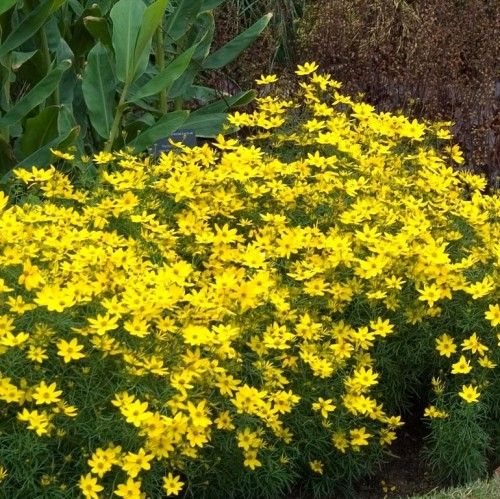 Coreopsis Zagreb In 2020 Plants Ground Cover Plants Sun Plants
