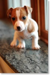 Pin By Ron Geiger On Jack Russells In 2020 Jack Russell Terrier Puppies Cute Dogs And Puppies Jack Russell