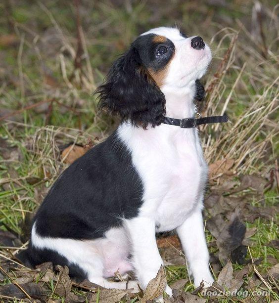 King-Charles-Spaniel-Puppy