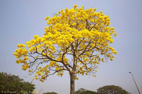 Ipê amarelo em Brasília