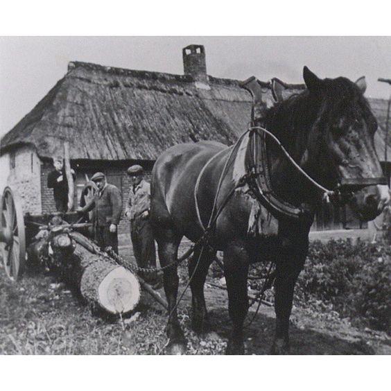Paard trekt bomen in Sint-Oedenrode. De bomen hangen in de zogenaamde mallejan, een speciaal voor vervoer van bomen ontworpen transportmiddel, twee grote wielen met daartussen een speciale as en een hefboom (fotonr. FOTOSC.1265)