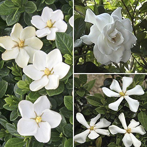 Hardy Gardenia Evergreen Shrub 3pcs White Flowering Collection