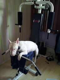 I work out! #Bull #Terrier