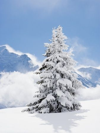 drawings of blue fir trees | Fir Tree Covered in Fresh Snow | Foto Arte
