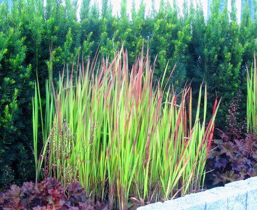 Imperata Cylindrica Red Baron Japanischjes Blutgras Ziergraser 14 Cm Topf In 2020 Gras Pflanzen Kubelpflanzen