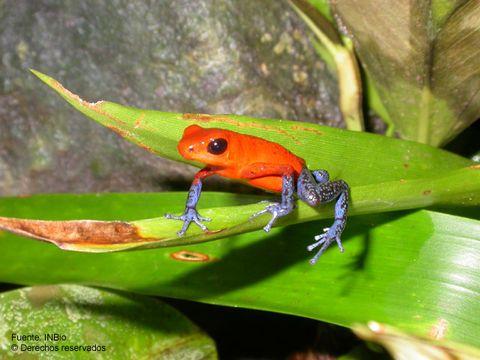 Dendrobates pumilio, Photo Credit: Instituto Nacional de Biodiversidad Costa Rica (INBio), http://eol.org/data_objects/13118746