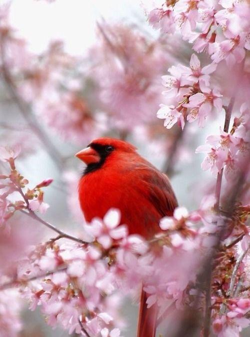 Cardenal magnífico rojo en árbol de flor de cereza