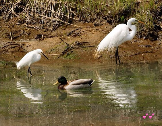 This is one of my favorite places The Oceanside Preserve ...Baby snowy egret, an egret and mallard chilling out