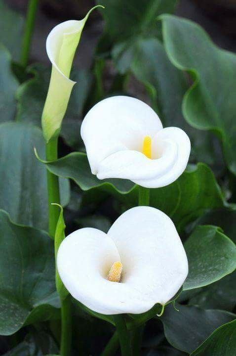 Calla Lilies Lily Plants Botanical Flowers Calla Lily