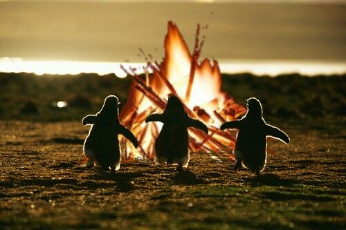 Pingüinos en la hoguera de San Juan