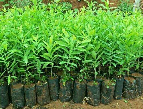 Sandalwood Plants Plants Horticulture Plant Nursery