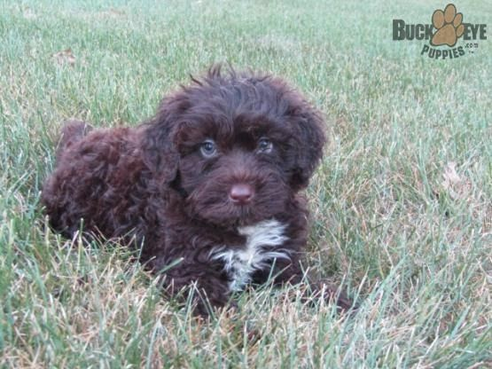 Portuguese Water Dog Puppies For Sale In Pa Portuguese Water Dog Puppy Portuguese Water Dog Water Dog