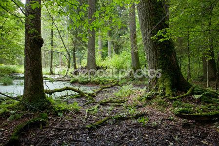 http://static5.depositphotos.com/1037602/445/i/450/depositphotos_4450870-Summer-forest-landscape-with-old-trees-and-water.jpg