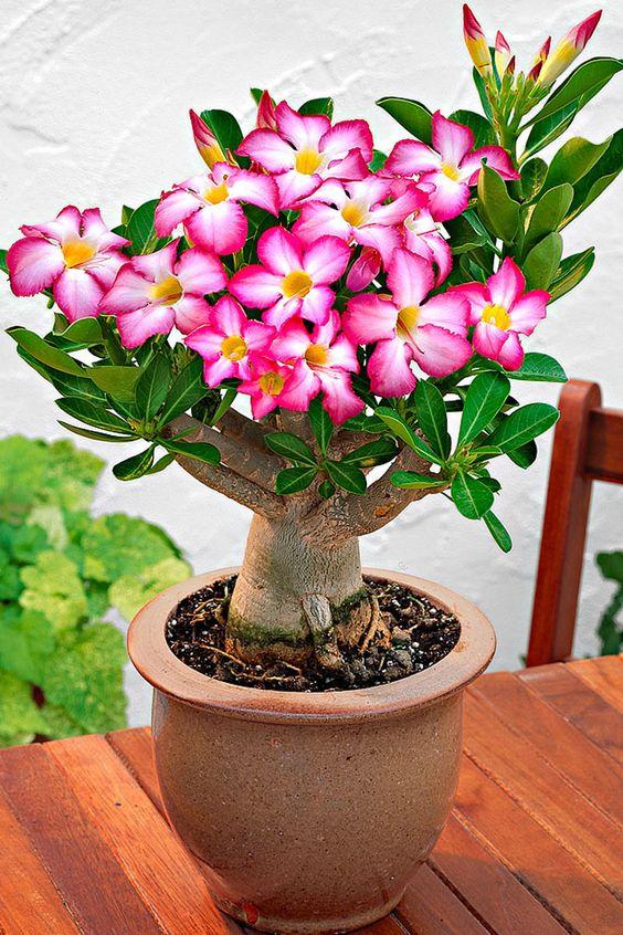 Vente bakker 16871 plantes d 39 int rieur rose du for Vente plante