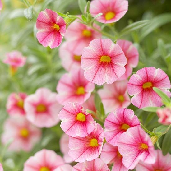 New for 2012/Better Homes and Gardens....Can-Can Rose Star Calibrachoa, long trailing, bloom covered stems.  Attracts butterflies, bees and hummingbirds.