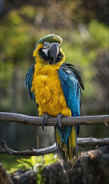 Blue and Yellow Macaw - Parrot