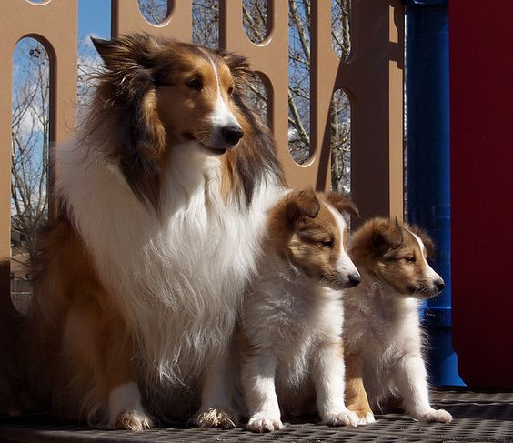Shetland Sheepdog mother with her puppies