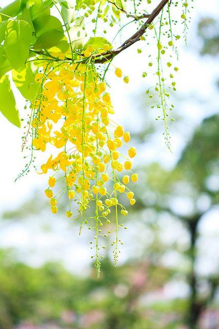 """Cassia Fistula"" yellow flowering tree <3"