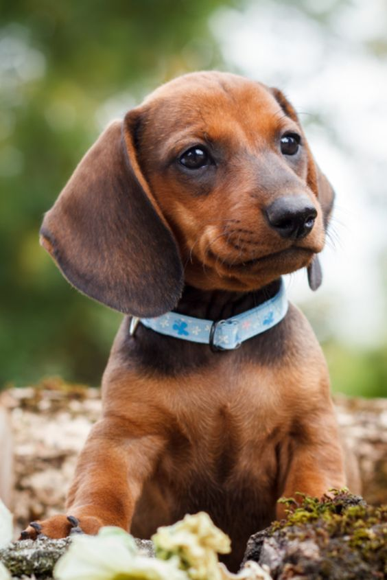 Dachshund Products Apparel And Gifts Dachshund Puppies