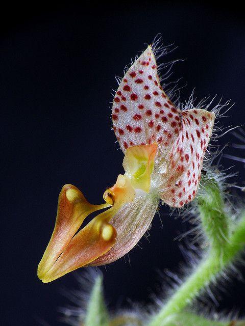 Ponthieva maculata, by Daniel-CR, via Flickr