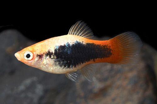 Firetail Tuxedo Platy Medium 1 25 1 5 Inches Platy Fish Tropical Fish Aquarium Aquarium Fish