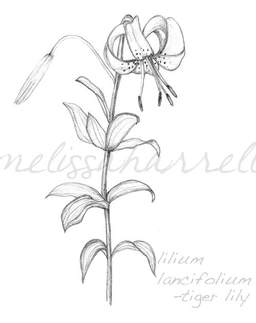 lily flowers drawings tiger lily flower drawing