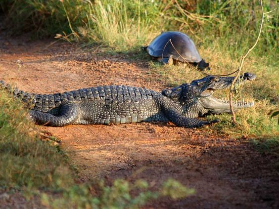 Reptiles and Amphibians in Wilpattu -  Monitor Lizard, Mugger Crocodile, Common Cobra, Rat Snake, Indian Python, Pond Turtle and the Soft Shelled Turtle can be seen in Wilpattu National Park.