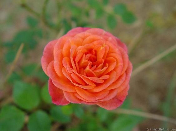 I have been trying to figure out another of my mystery roses ~ I think we may have a winner!  ~'Busy Bee' Rose (miniature, Saville 1994)'