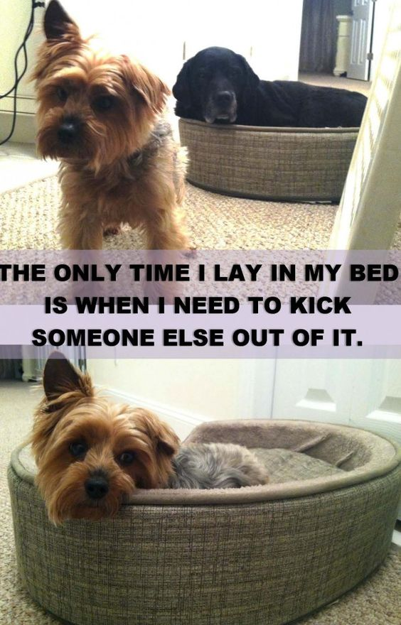 """Bailey demands to be the center of attention at all times. Once she noticed that people were laughing at Cleo in """"the little dog bed"""", she rushed over and barked her out. This was the first time she had even looked at the bed in two years."""