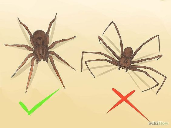 Identifying Wolf spider (left) vs Brown Recluse (right).: