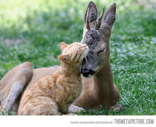 And the Lion will lay down with the lamb...ok, so it is a kitty and a fawn.  Same thing <img src=