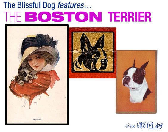 The Boston Terrier stays in the top 20 or so of the AKC rankings of popularity.