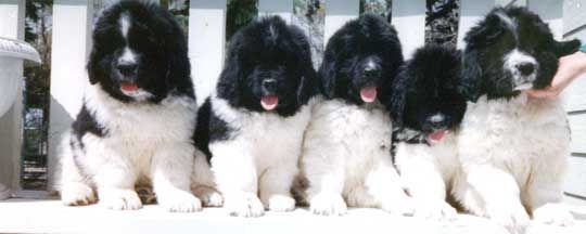 Newfs are some of the best family dogs out there and I hope to someday own a landseer just like one of these