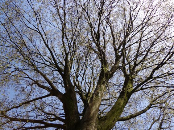 Come on, spring! The Hornbeam (Carpinus betulus) on the corner of our street.