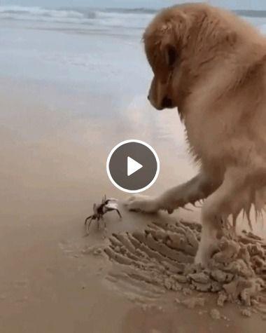 Quase que o cão se dá mal brincando com o caranguejo na praia