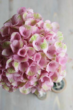 Hortensia, printemps, début de l'été lamarieeauxpiedsnus