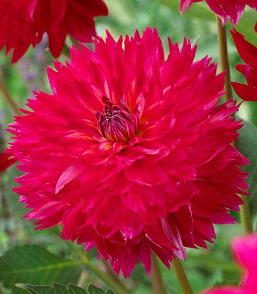 dalia (dahlia) soulmate 1 szt. | la petit fleur | pinterest | dahlias