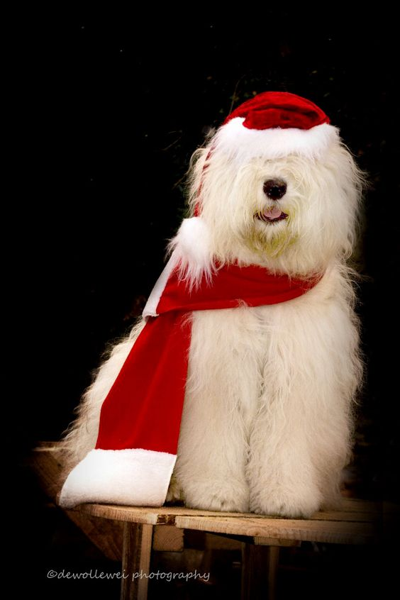 Our Old English Sheepdog Sophie