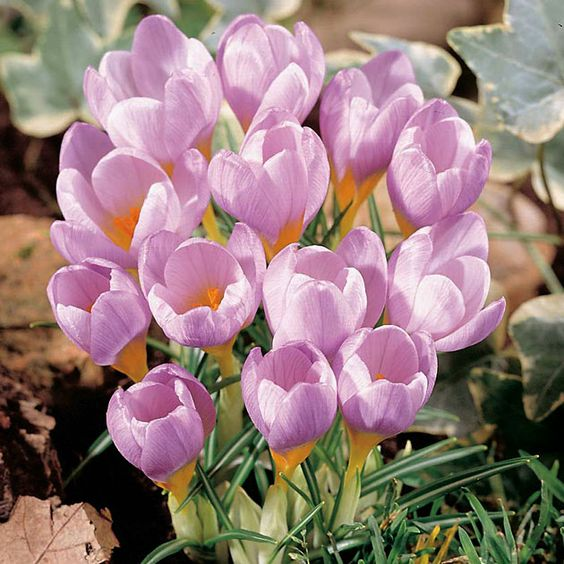 Pink crocus | Musings