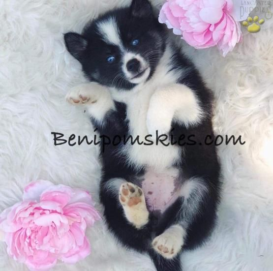 Cuddly Pomsky Puppies Puppiesofpinterest Pinterestpuppies Buckeyepuppies Puppies Pups Pup Puppy Funlovin With Images Pomsky Puppies Pomsky Puppies For Sale Puppies