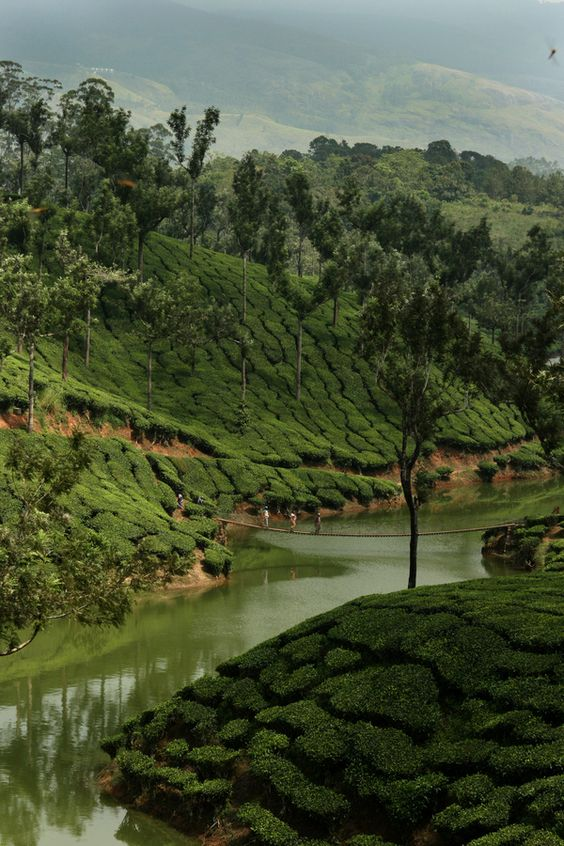 Tea plants, Munnar, India