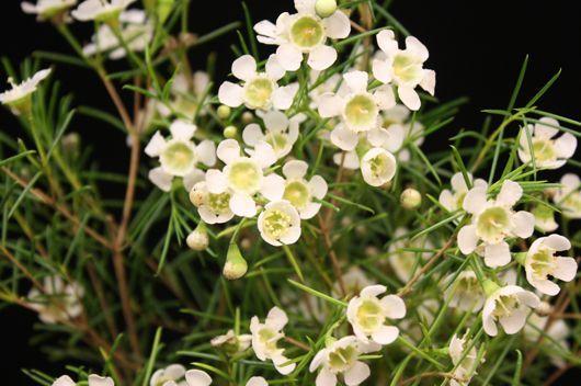Wax Flower - White