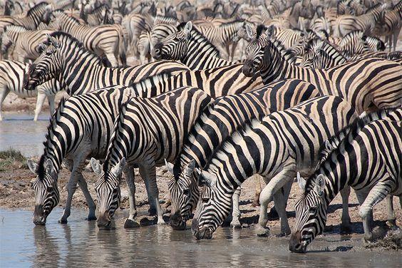Zebras at a waterhole in Etosha National Park, Namibia. #zebras #etosha #namibia