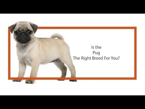 Petland St Louis Missouri Puppies For Sale Pug Dog Id 2415180