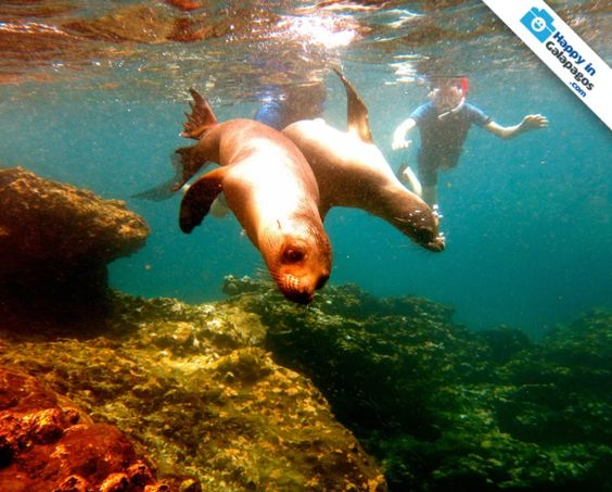 Snorkeling with a couple of playful sea lions - http://www.happyingalapagos.com/snorkeling-couple-playful-sea-lions/