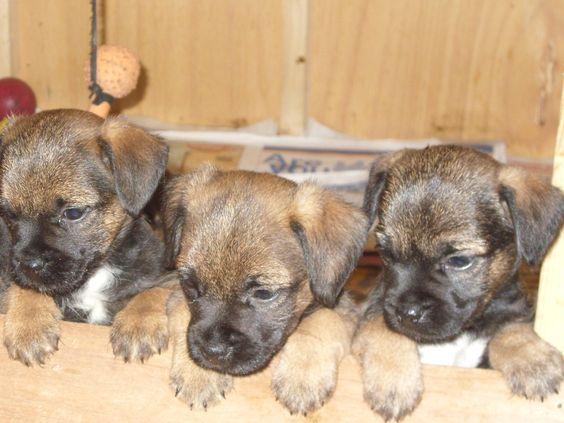 Raindogtreats Com Border Terrier Terrier Dogs Brown Dog