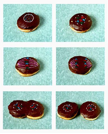 doughnut mitosis!